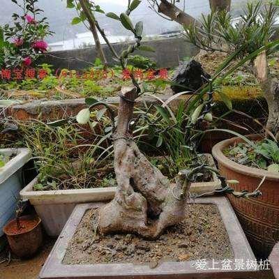 榔榆下山桩怎么栽培的方法