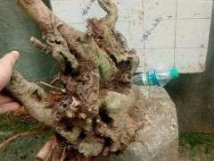下山桩栽种前可以用生根粉泡吗