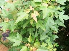 这是什么三角枫下山桩?叶子这么大