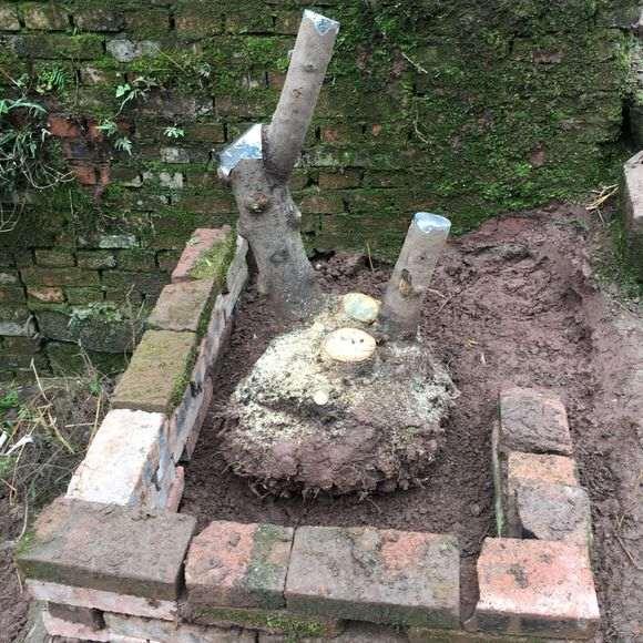 冬季下山樁怎麼纏膜套袋後在北方栽種