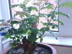 七八月种植清香木下山桩 成活率如何