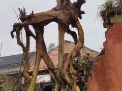 请问各位 这个下山桩树桩可以做盆景吗