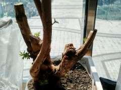 黄荆下山桩树桩多久才可以发芽 图片