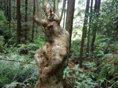 今天上山看的下山桩树桩 是什么树种