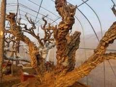 150年大樹下山樁已經上盆 看看怎麼樣