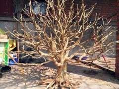 捡了一棵黄杨死树下山桩大家看看有什么用