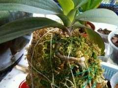 蝴蝶兰下山桩树桩怎么栽培的方法