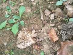 月季树桩下山桩怎么培养砧木的方法