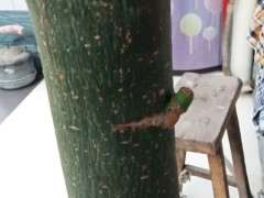 发财树树桩下山桩中午暴晒可以吗