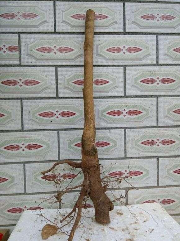种下山桩是用生根粉吗