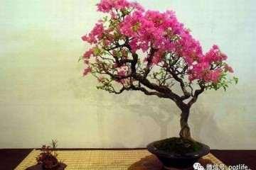 紫薇盆景怎么种植的方法 图片