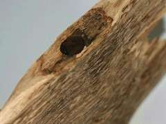 陽台上種的沉香下山樁樹樁能不能結香