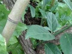 去年冬天挖的下山桩树桩 这是什么植物