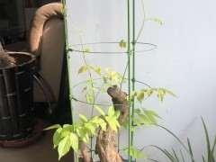 紫藤下山桩树桩不发芽 怎么办 图片