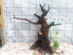 清香木下山桩好栽活吗 要注意什么 图片