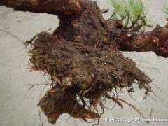 如何栽植松树下山桩成活率最高 图片