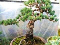 长特别快速的松树下山桩是什么品种