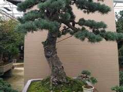 哪里有卖松树下山桩的 或者联系方式