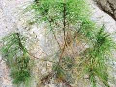 杭州地区的松树下山桩是什么品种