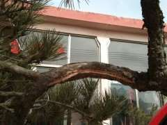 松树下山桩怎么开槽拿弯造型的方法