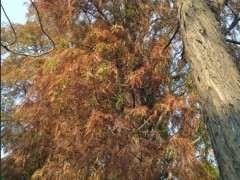 这种树叶可以给松树下山桩当肥料吗