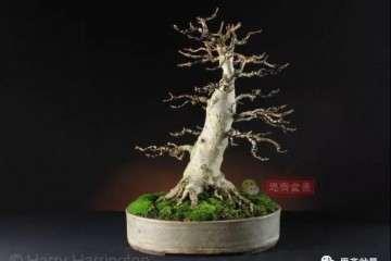 图解 槭树下山桩怎么制作盆景的过程