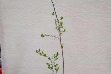 图解 老鸦柿下山桩怎么制作盆景的过程