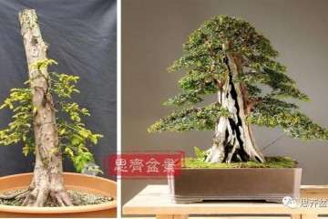 图解 6年时间将红豆杉下山桩制作成盆景