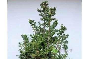 图解 柳杉下山桩怎么高压繁殖的方法