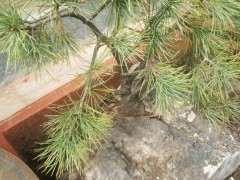 看我挖石头里面的松树下山桩 图片