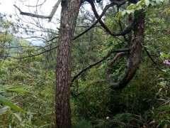 胸徑30左右的松樹下山樁 通常要多少年