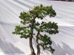 松树下山桩为什么树杆变扁 图片