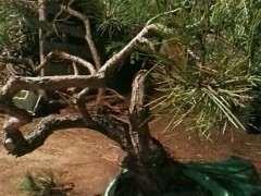 松树下山桩到底能否用生根粉啊