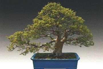 榔榆盆景怎么制作的方法