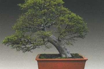 榔榆盆景的病虫害防治及树洞修补