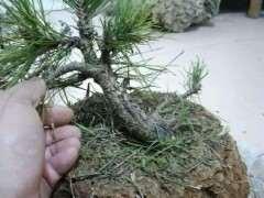 第一次挖松树下山桩 能直接上盆吗