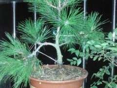 下山桩松树应该注意什么 如何高成活率