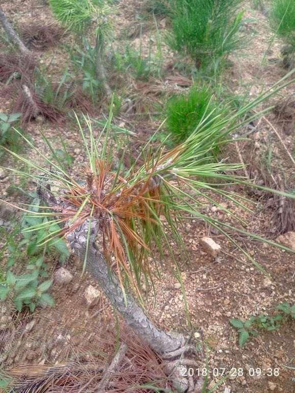 为什么夏季松树下山桩会死亡的原因