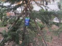 夏季松树下山桩怎么补充大树营养液 图片