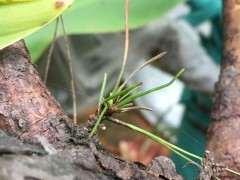 种了两个月的松树下山桩都发芽 图片