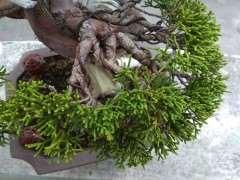 系魚川真柏下山樁葉子有些發黃 圖片