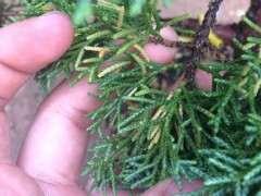 真柏下山桩的叶子逐渐发黄是什么原因