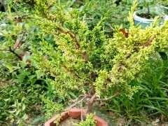 什么柏树比真柏下山桩叶子都要粗短一些