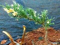 怎么杀菌提高真柏下山桩的成活率 图片