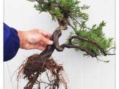 一颗百年小真柏下山桩换盆的方法 图片