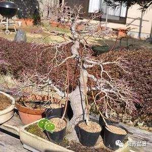 红枫盆景怎么移植穿接的方法