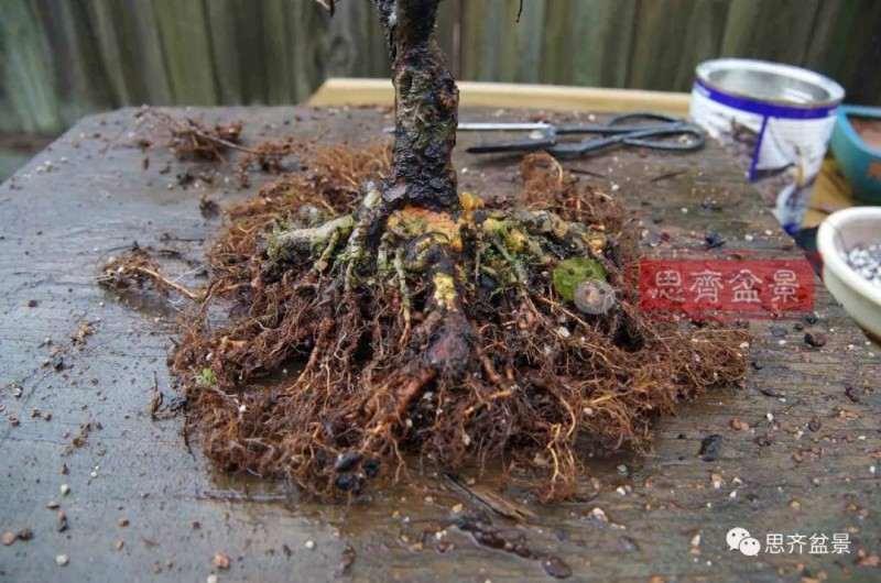 榔榆盆景怎么换盆的方法