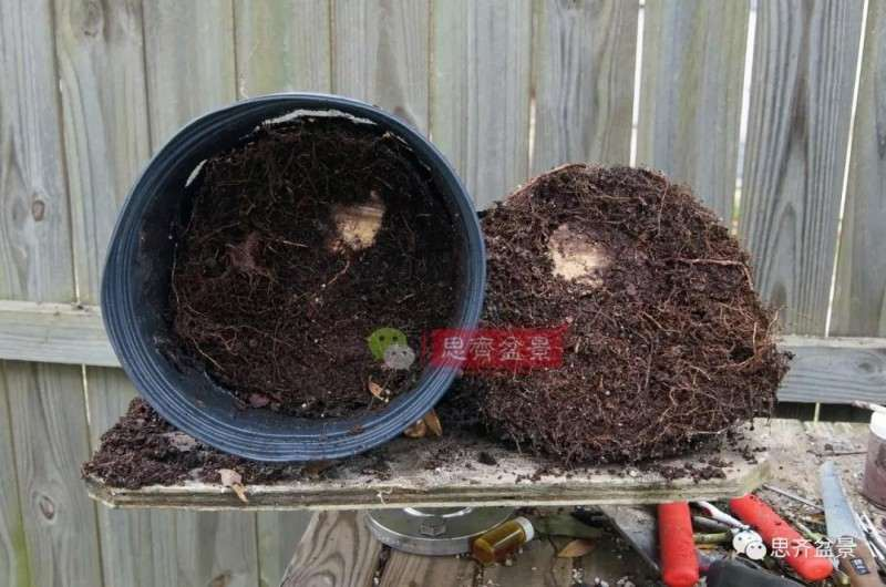 紫薇下山桩怎么根盘培养的方法