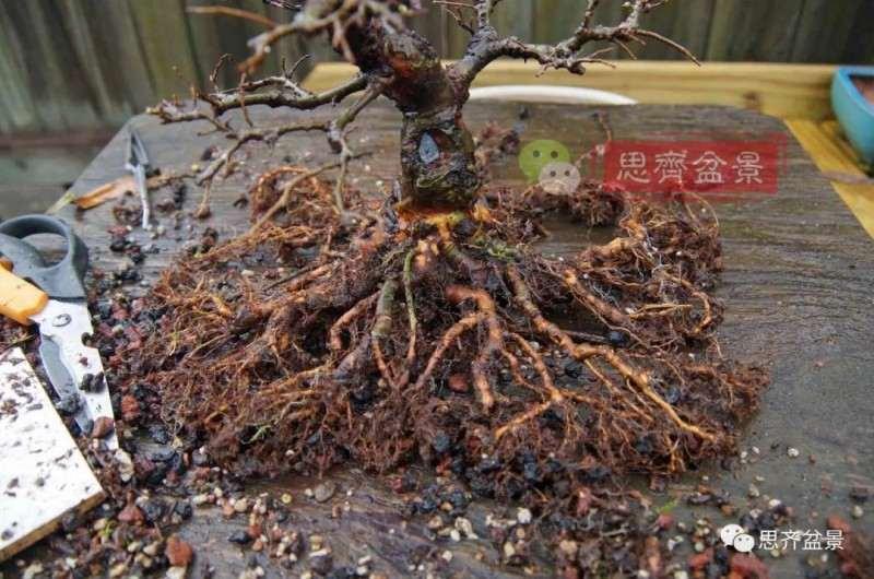 紫薇下山樁怎麼根盤培養的方法