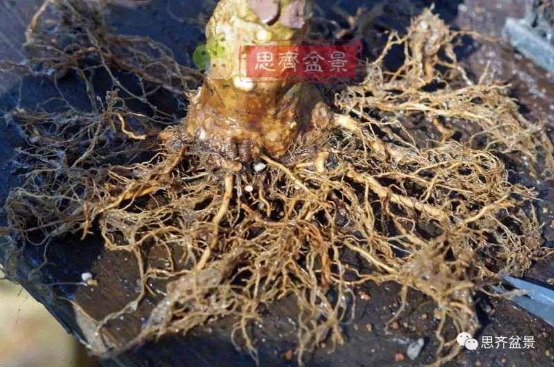 紫薇下山桩怎么培养根盘的方法